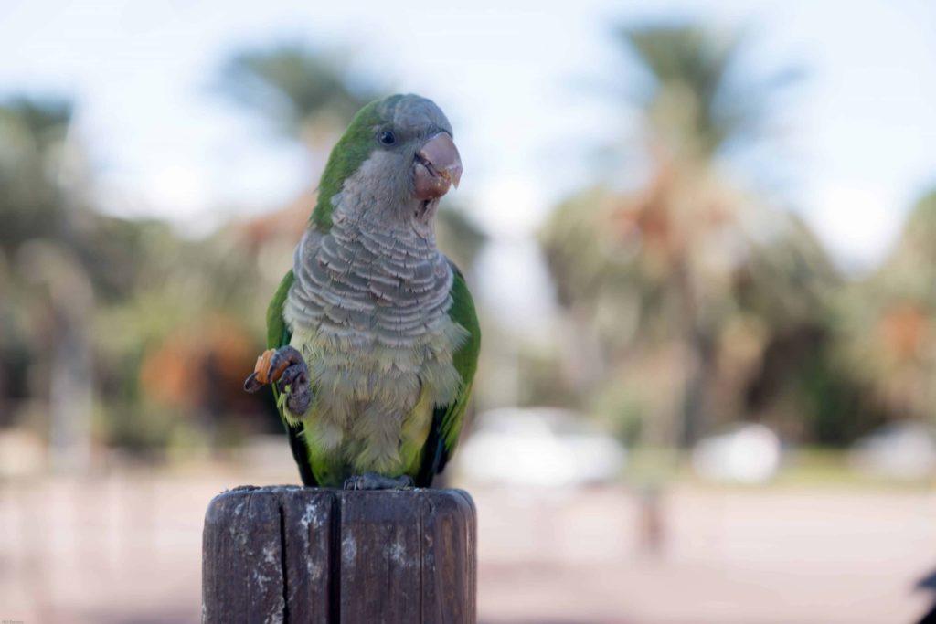 Quaker Parrot watching