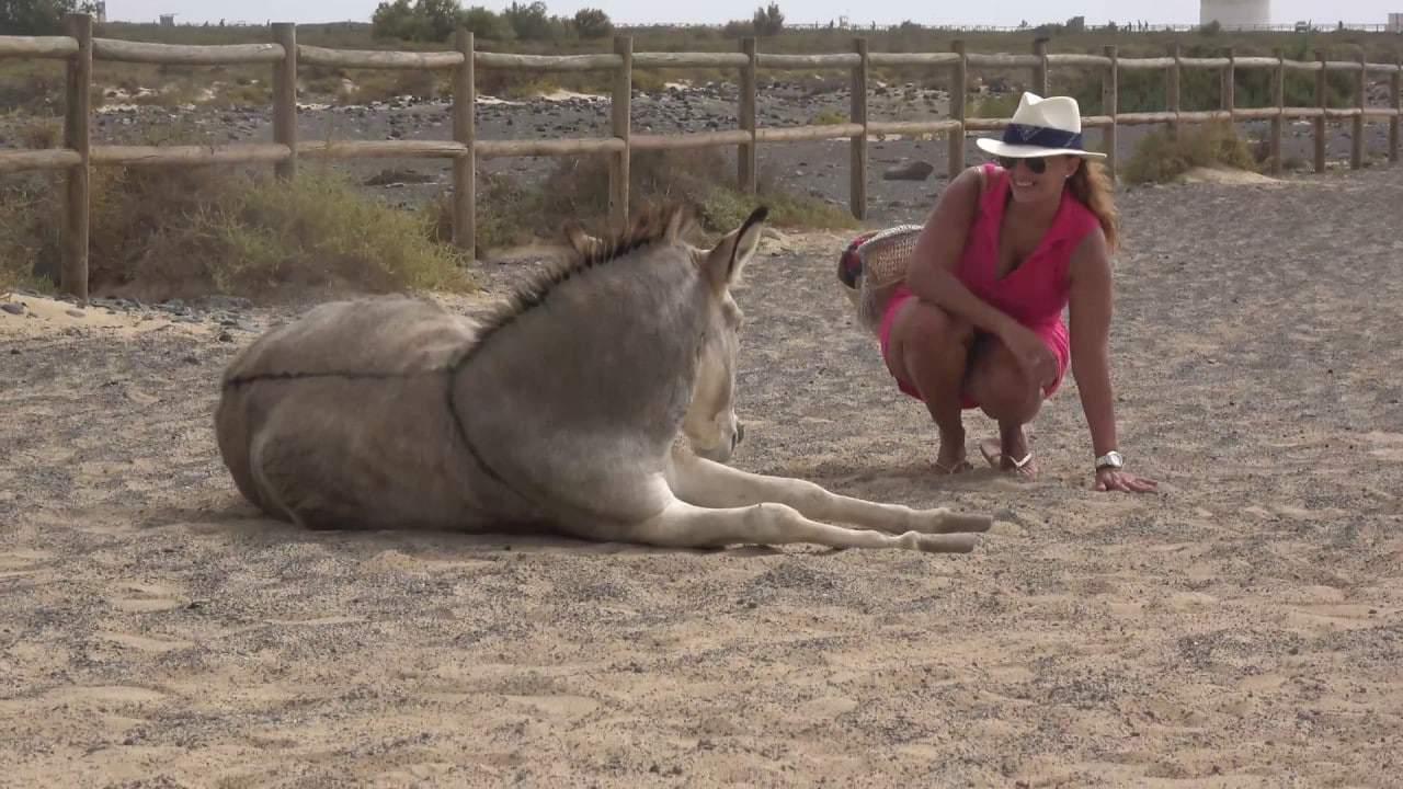 Majorera donkeys  of Fuerteventura,Spain.  An endangered breed