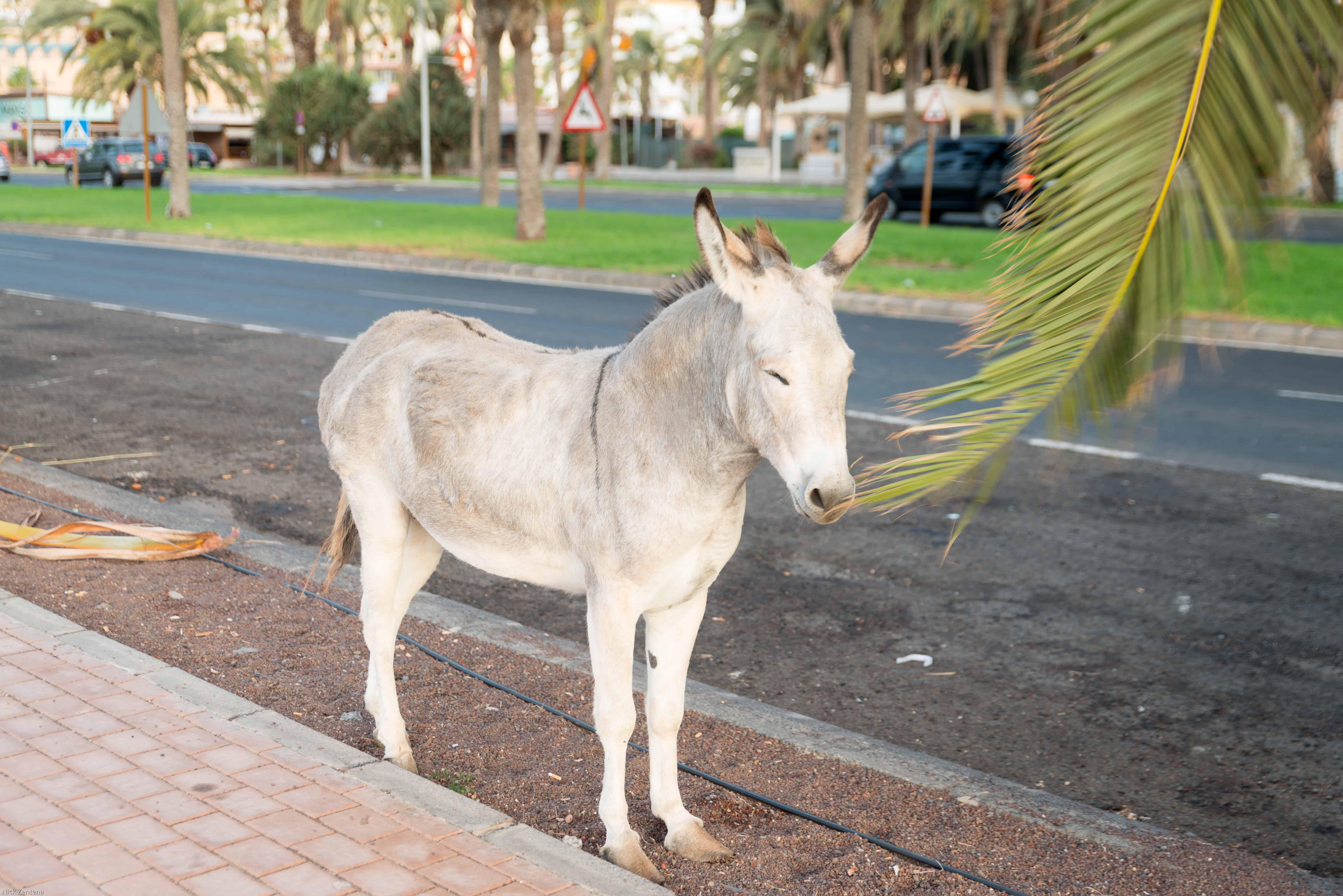Majorera donkey posing for a photo