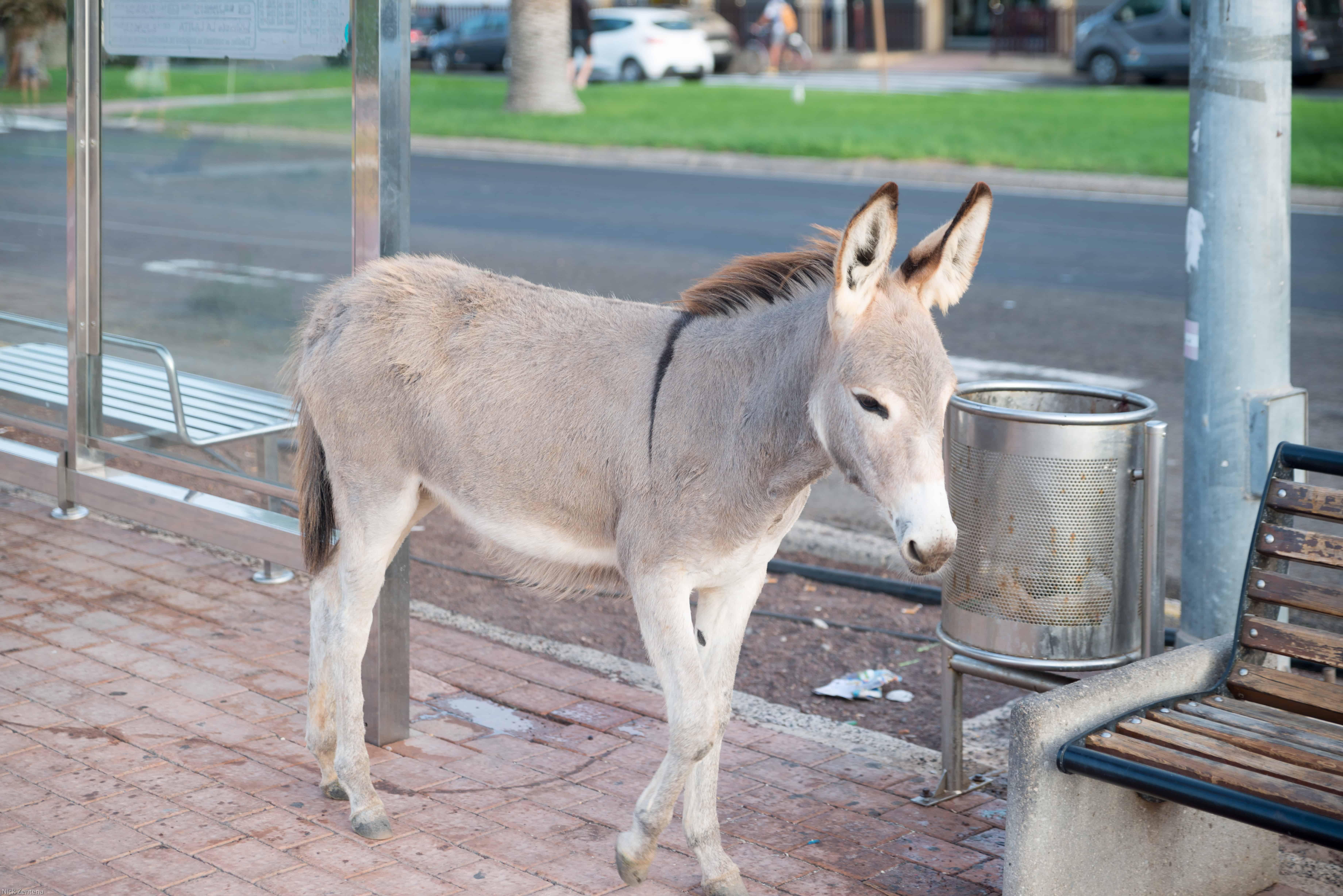 Majorera donkey promendade